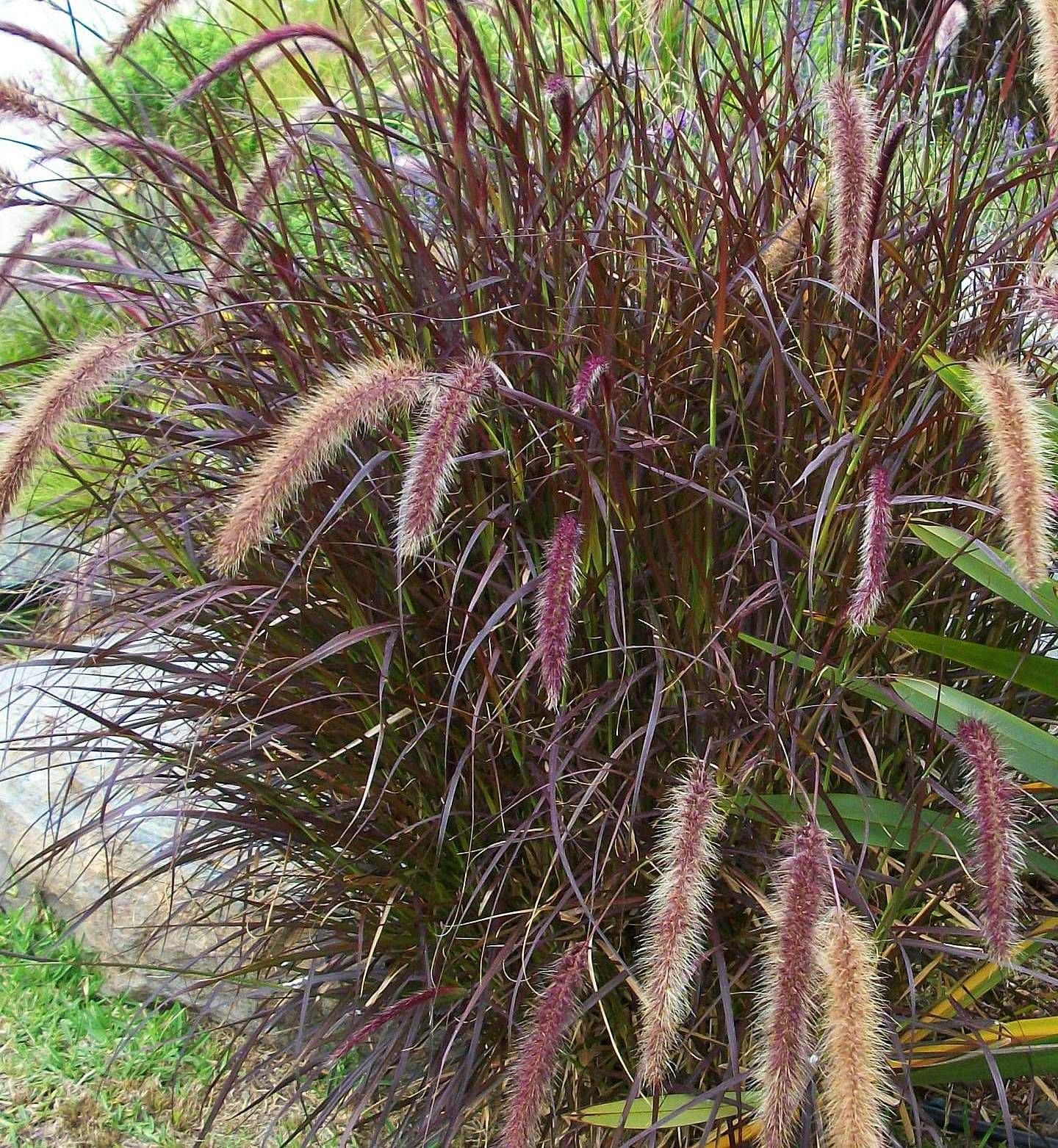 The 12 best ornamental grasses to grow in your garden fountain if you dont want to deal with ornamental grass maintenance you can plant purple fountain grass it is very pretty but not hardy here it would die each workwithnaturefo