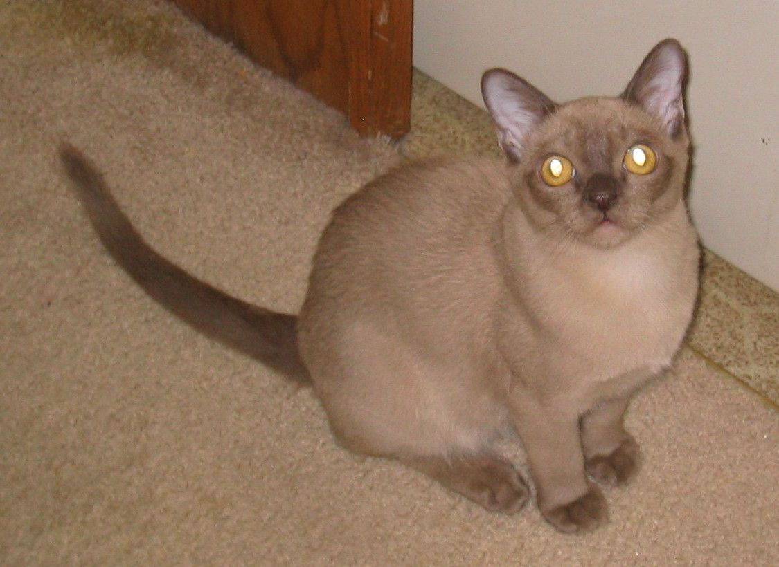 Burmese Cat Champagne Burmese Cat Tonkinese Cat Beautiful Cats