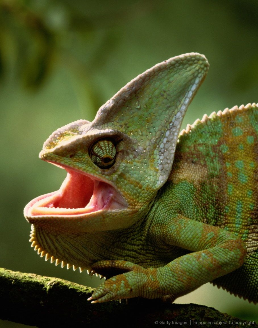 4f25e395a9f6bad3107879802182f976 - How To Get A Chameleon To Open Its Mouth