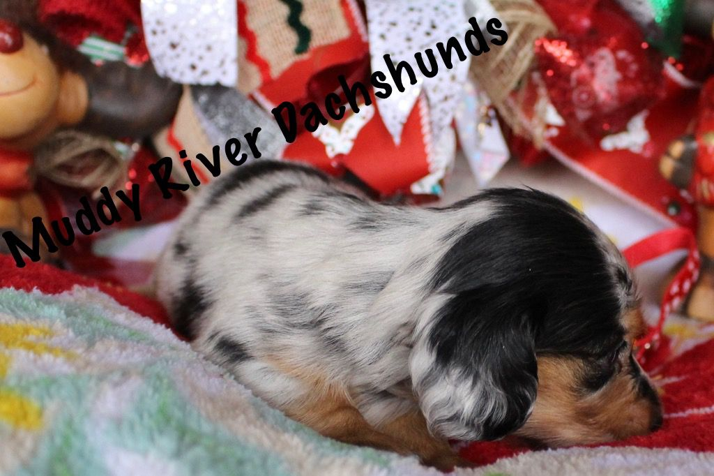 Muddy River Dachshunds Puppies For Sale French Bulldog Puppy