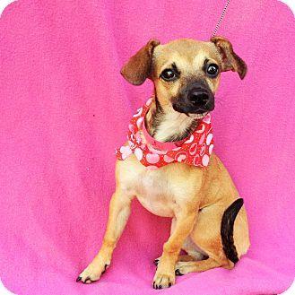Yo Yo ! Burbank, CA - Terrier /Chihuahua Mix. Meet Yo-Yo, a puppy for adoption. http://www.adoptapet.com/pet/13888070-burbank-california-terrier-unknown-type-small-mix