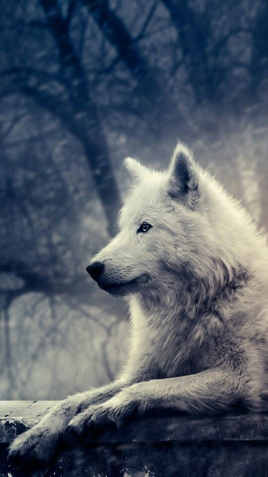 Phone Wallpaper Game Of Thrones Wolves Game Of Thrones
