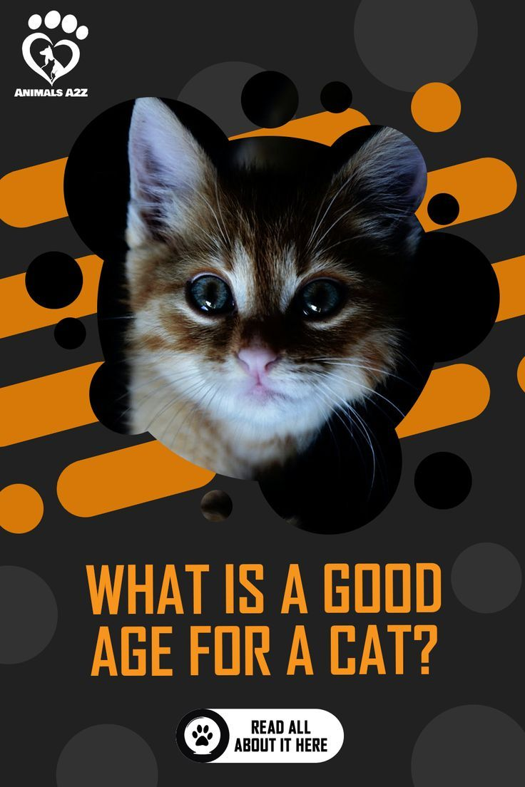 What Is A Good Cat Age For Adoption Detailed Answer In 2020 Cat Ages Kitten Adoption Cat Questions