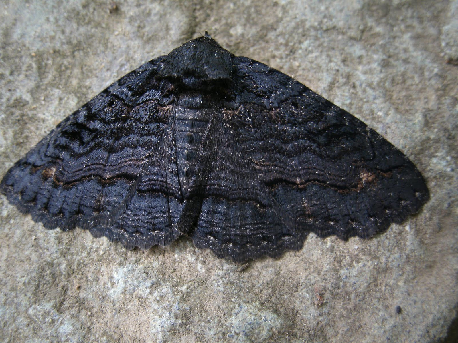 black+moth.JPG (1600×1200)