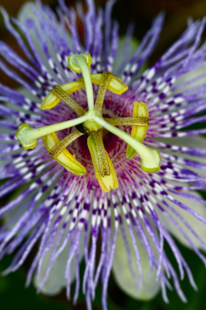 Attentive And Calm Herbs Food And Lifestyle Therapies For Creating Mental Clarity National Association For Holisti Herbalism Herbal Medicine Passion Flower