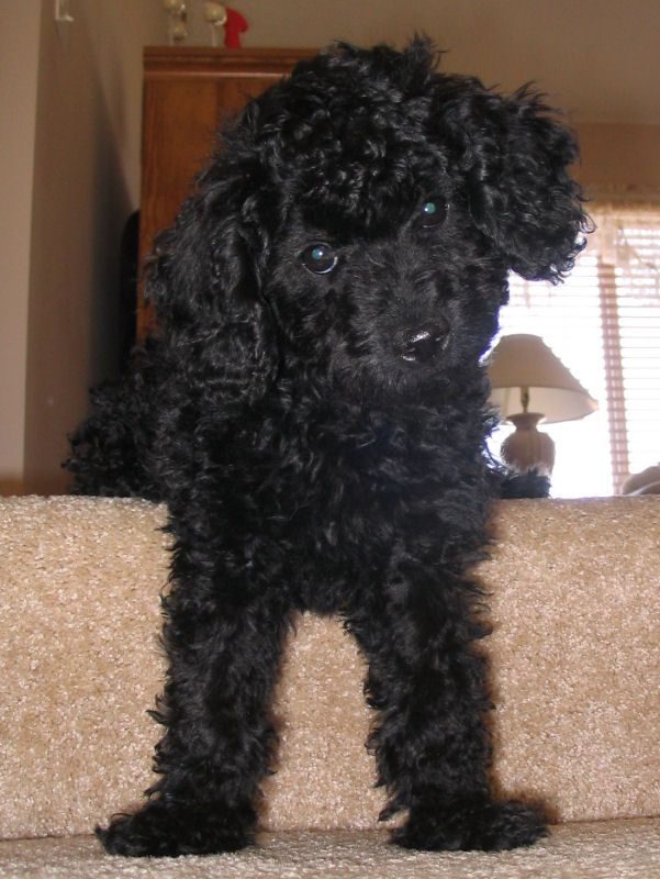 Black toy poodle how big do they get