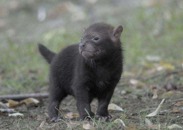 Picture Of A Bush Dog