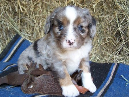 Aussalier Information And Pictures Australian Shepherd Cavalier King Charles Spaniel Hybrid Dogs Australian Shepherd Hybrid Dogs Unique Dog Breeds