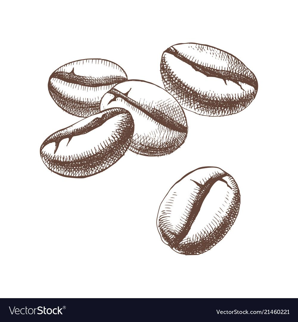 Hand sketched coffee beans vector image on VectorStock in
