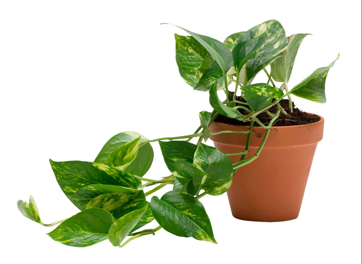 Huonekasvit tuovat silmäniloa, mutta ne myös auttavat pitämään ilman puhtaana. Tai niin ainakin uskotaan.