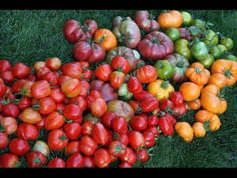 Growing Tomatoes Tips With Organic Soil In Vegetable Garden How To Grow  Tomatoes   YouTube