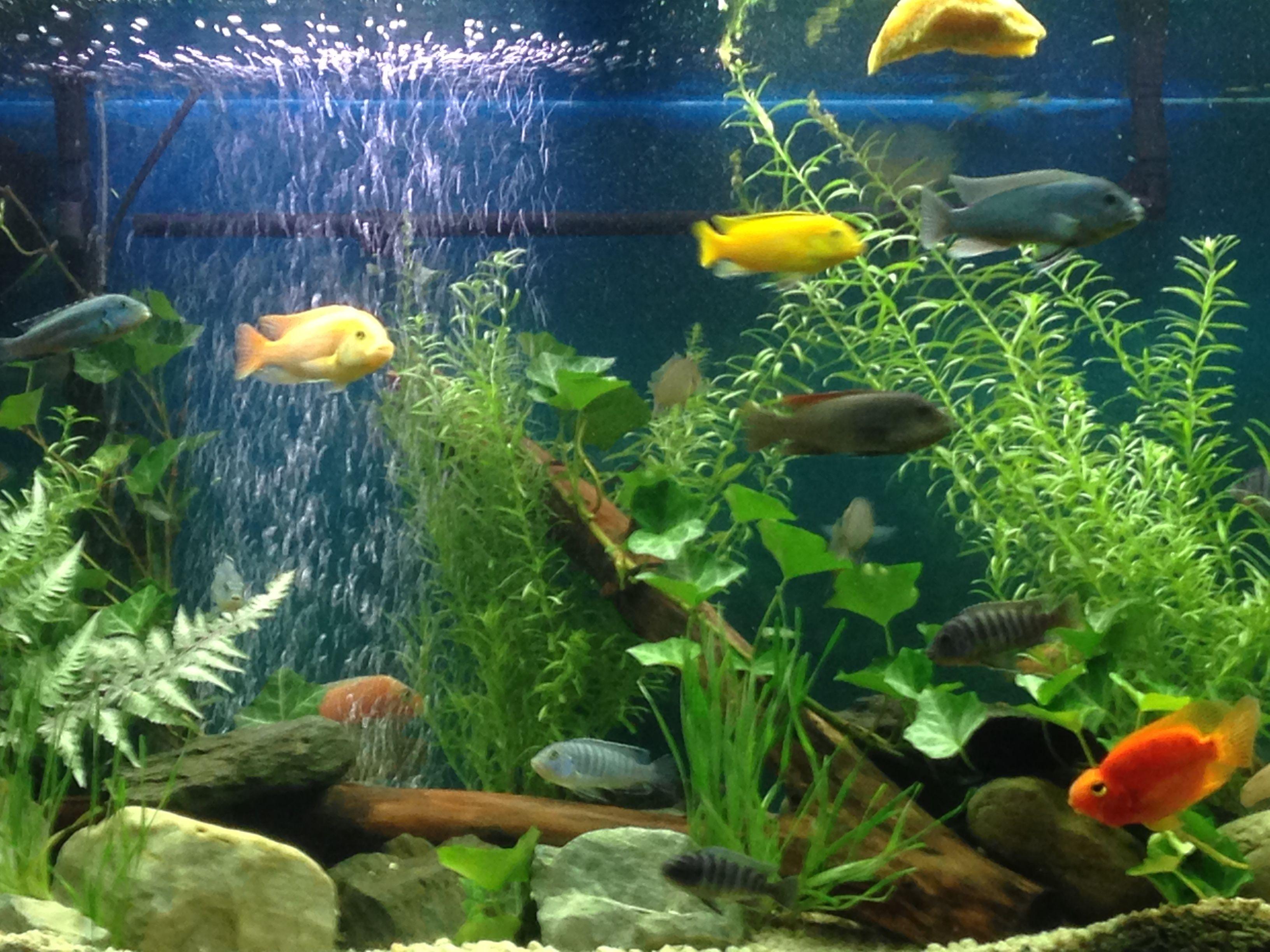My 90 gallon African cichlids planted tank  African CichlidsTropical FishFresh  ...