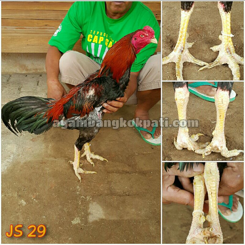 Cara Memilih Ayam Bangkok Aduan Yang Super Bangkok Ayam Tips