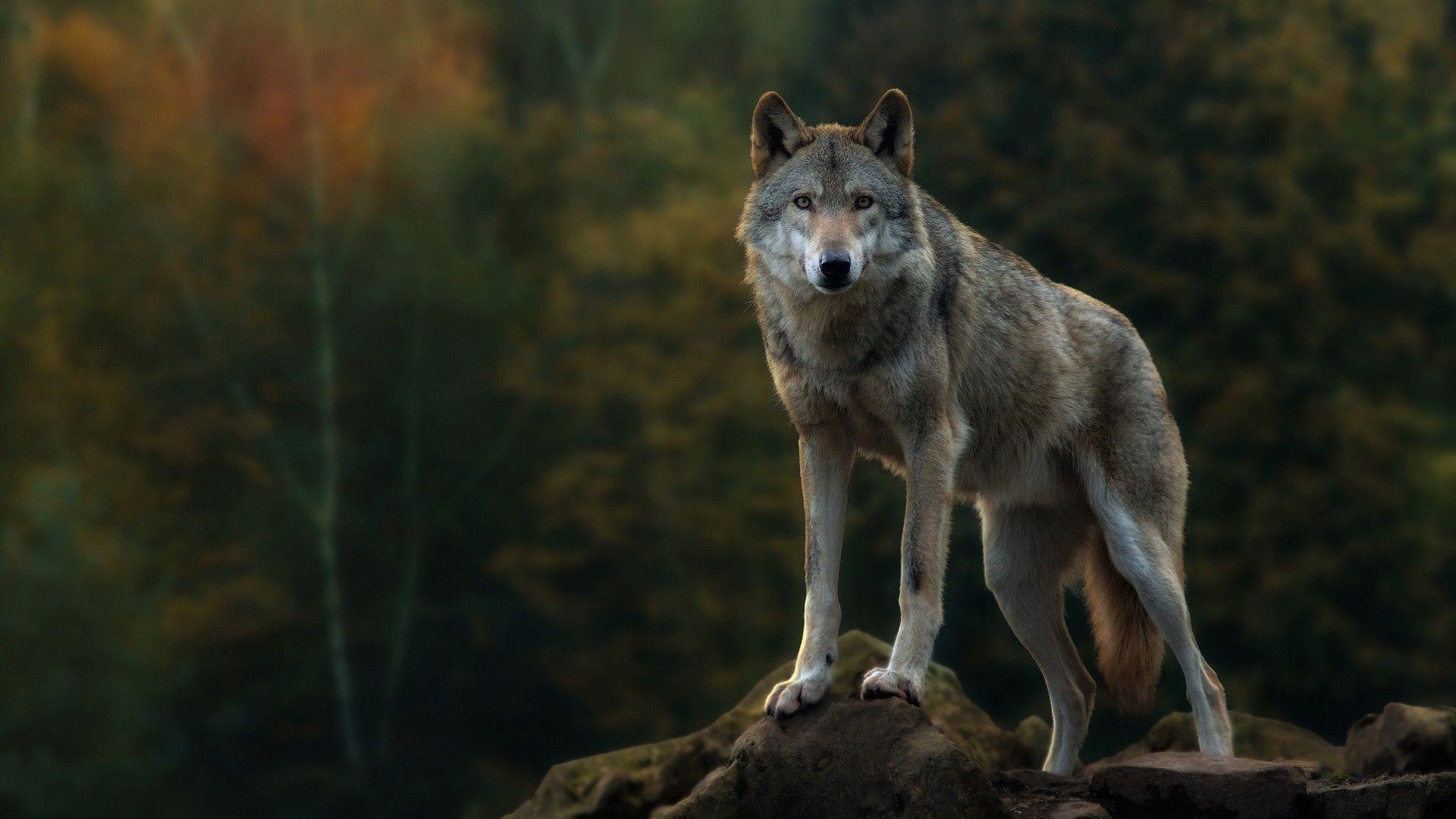 Wolf wallpaper bleach wolves Pinterest Wolf wallpaper Wolf