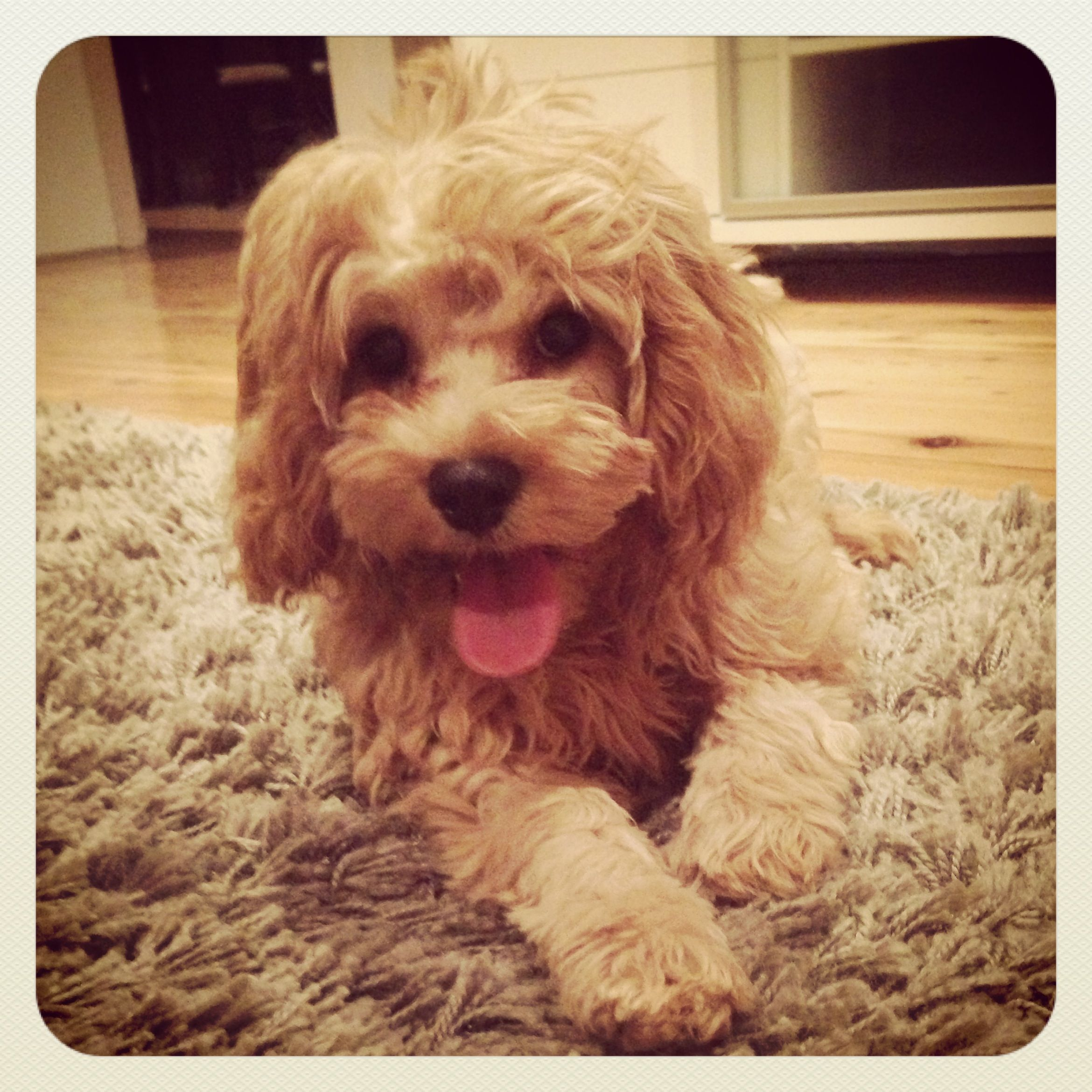 Latte Toy Cavoodle Cavapoo Puppies Puppies Cute Puppies