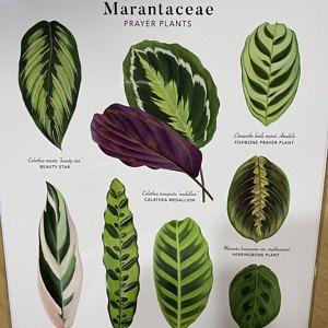 A3 Prayer Plants (Marantaceae) Giclée Print