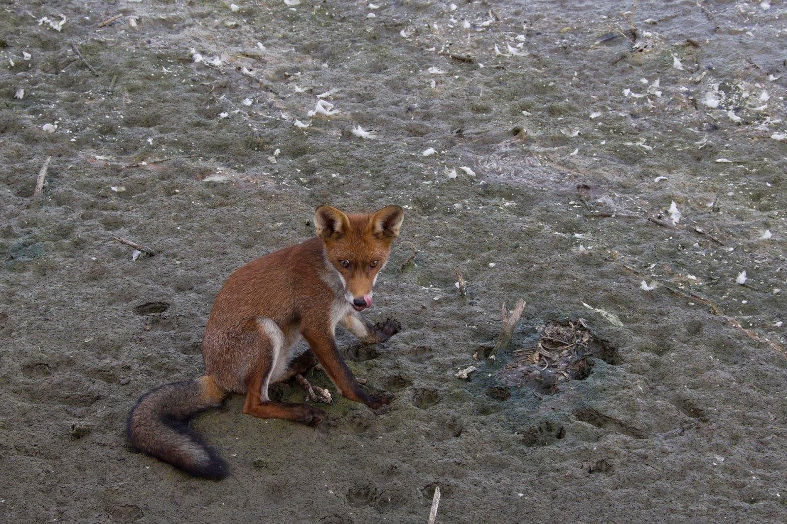 Pin van Corine Van Heemstvan Eck op fox in 2020