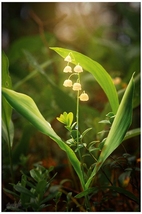 lily of the valley.  looks like a fairy could pop up somewhere at any moment.
