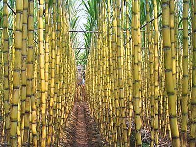 Cana De Azucar Plant Sugar Sugarcane Sugar Cane