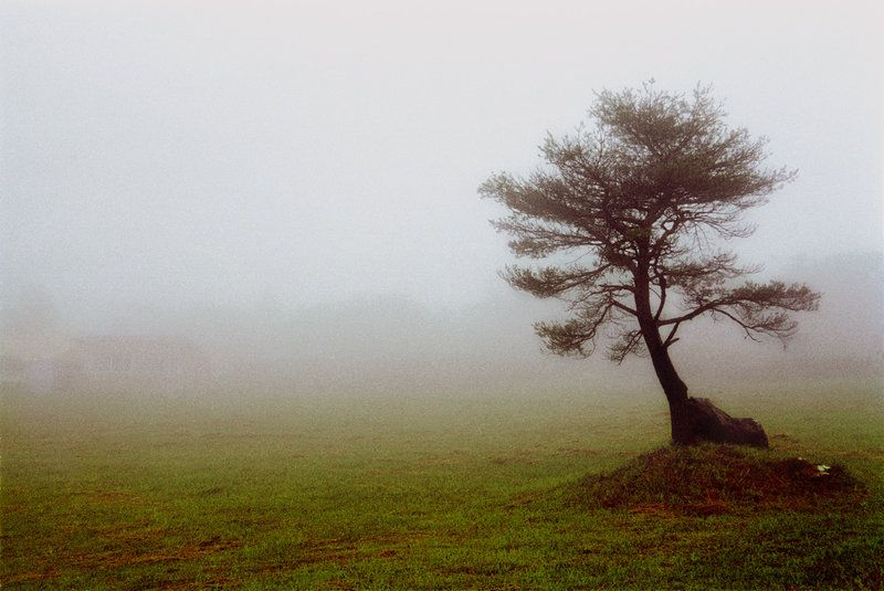 Tree in the thick thick fog atop Tengu Mountain, Kochi Prefecture, Shikoku, Japan.