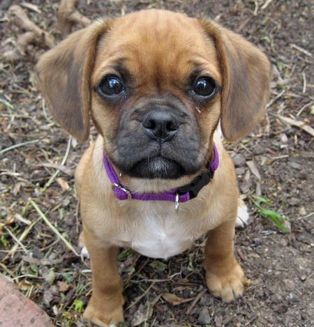 Lol. Can't. Even. Handle. These. Pugs! Dachshund mix