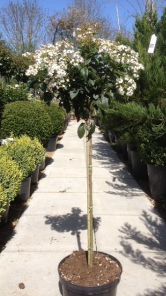 Viburnum Tinus Eve Price Topiary Half Standard Buy Online Viburnum Eve Price Topiary Plants