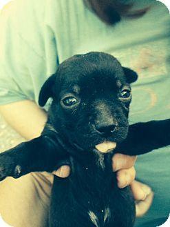 Ogden, UT Australian Shepherd/Rottweiler Mix. Meet Azure
