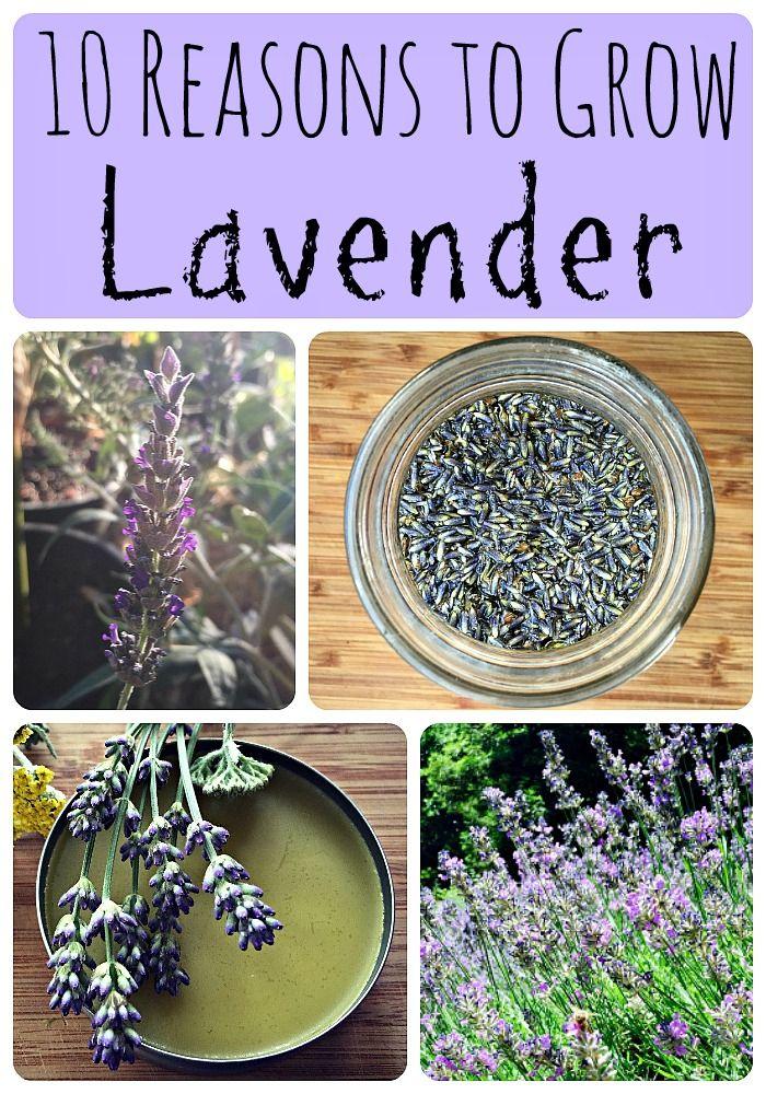 10 Reasons To Grow Lavender Growing Lavender Lavender Garden