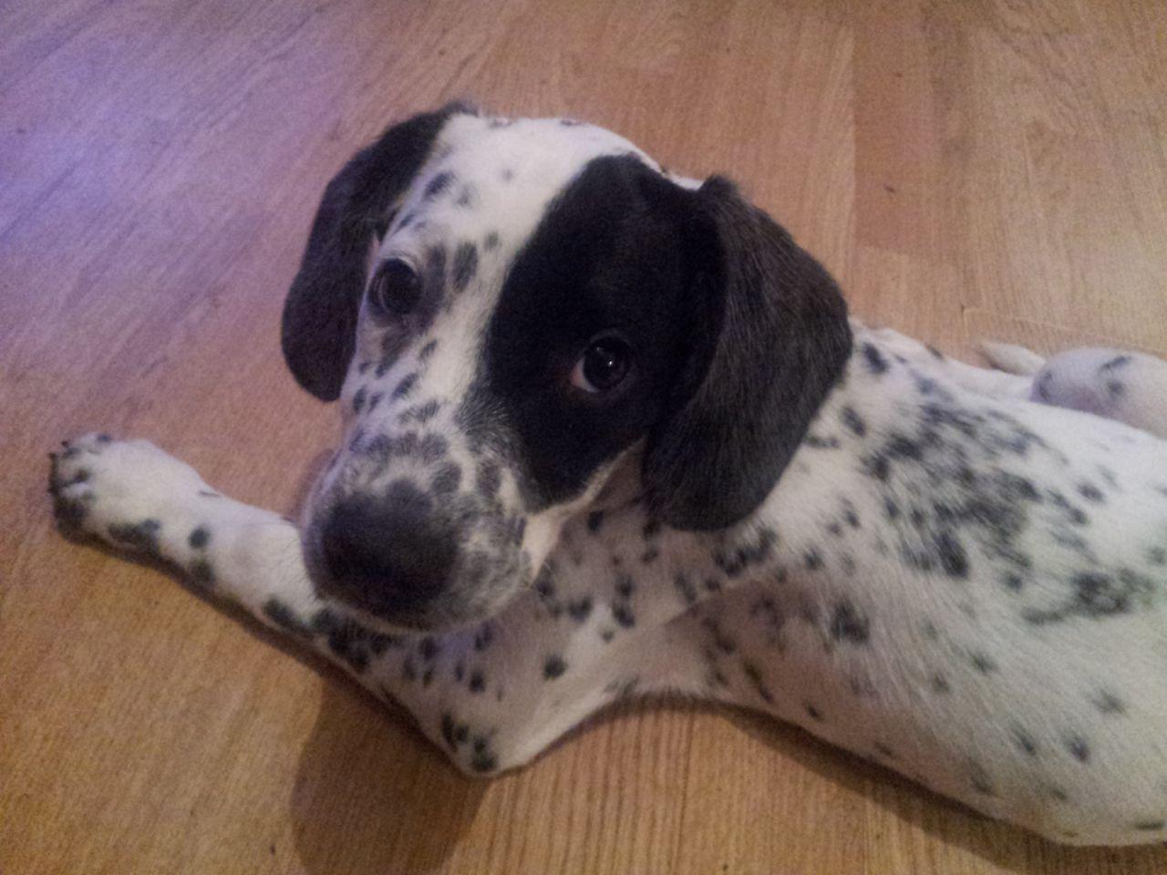 Beagle Dalmatian Mix Beagle Mix Hybrid Dogs
