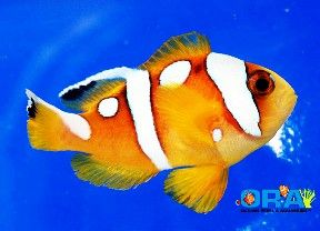 Saltwater Fish Saltwater Aquarium Clown Fish