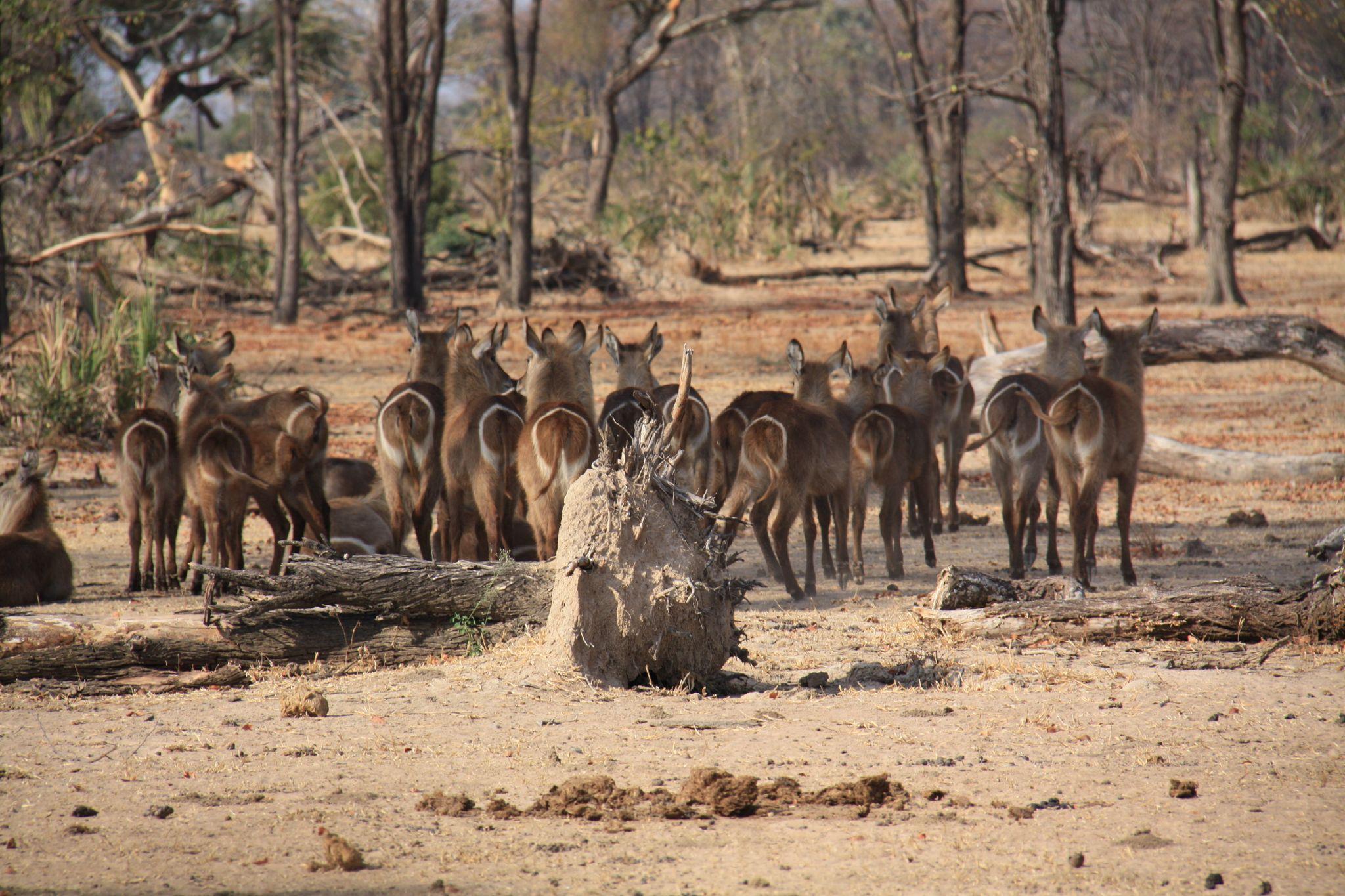 Ass  #Liwonde #National #Park #Malawi