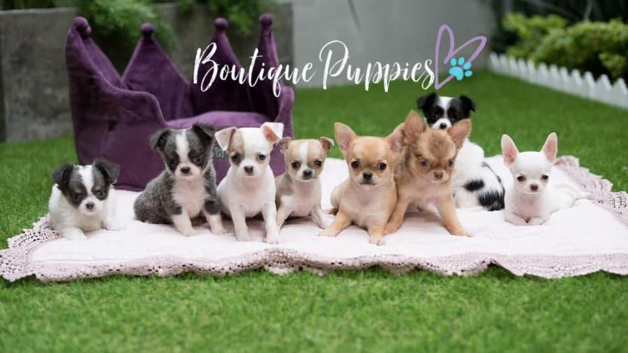 Boutique teacup puppies store in 2020 teacup puppies