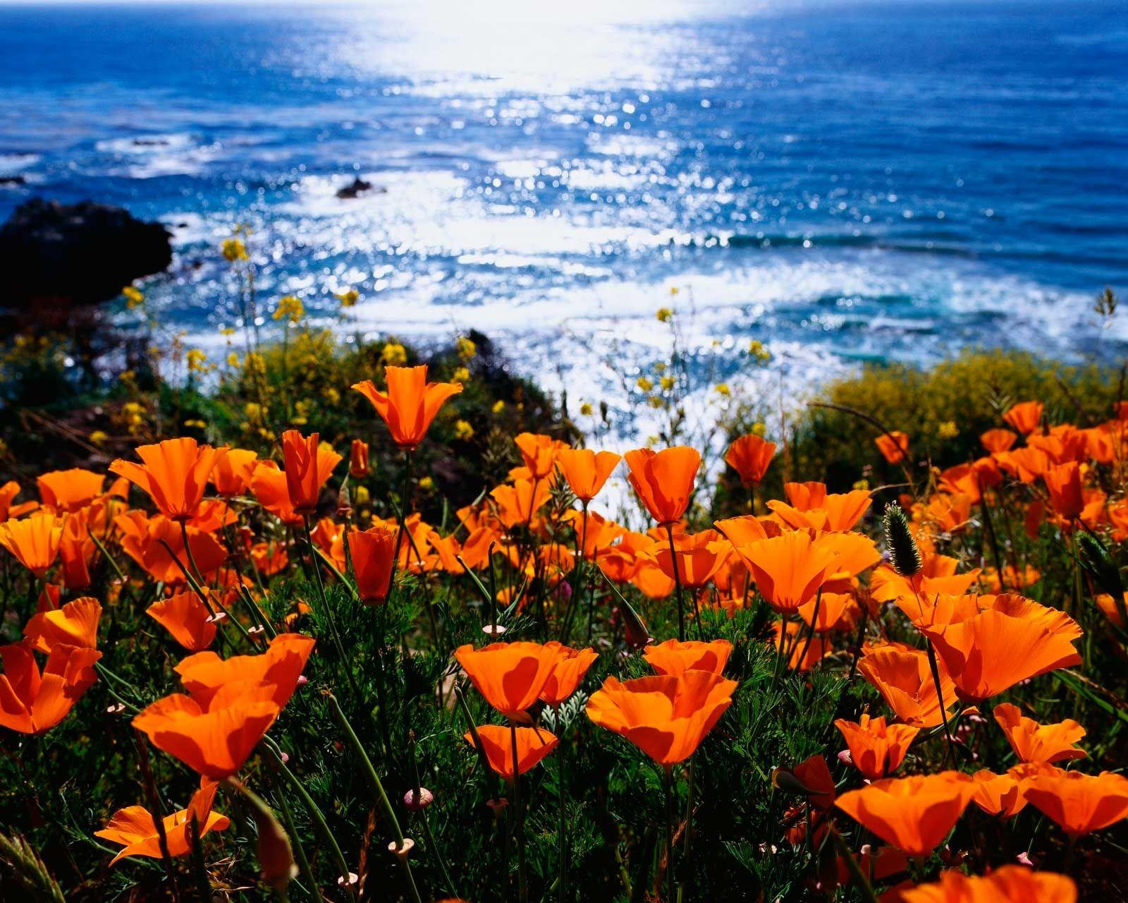 California Poppy State Flower California Pinterest