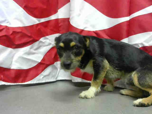 ID#A451178 I am described as a male, tricolor Terrier mix mix. The shelter thinks I am about 6 months old I have been at the shelter since Jun 20, 2015 and I am available for adoption now! at Moreno Valley, CA Animal Services