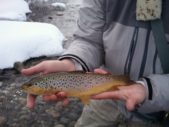 Weber River Brown Trout. You can check out the Weber River fishing report and more at elusiveflyfishing.com
