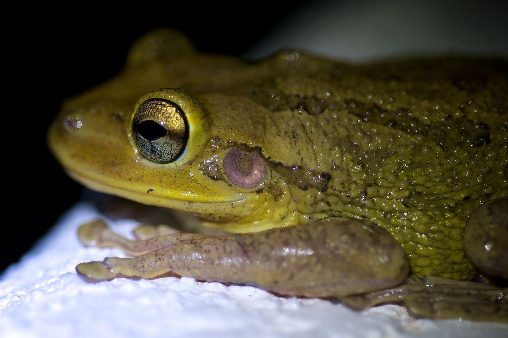 Pet frogs species - photo#52