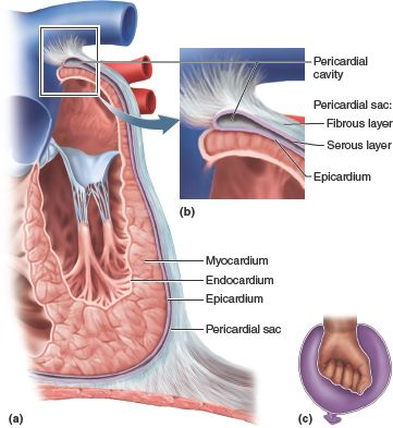 The Pericardium The Pericardium Is A Double Walled Sac That