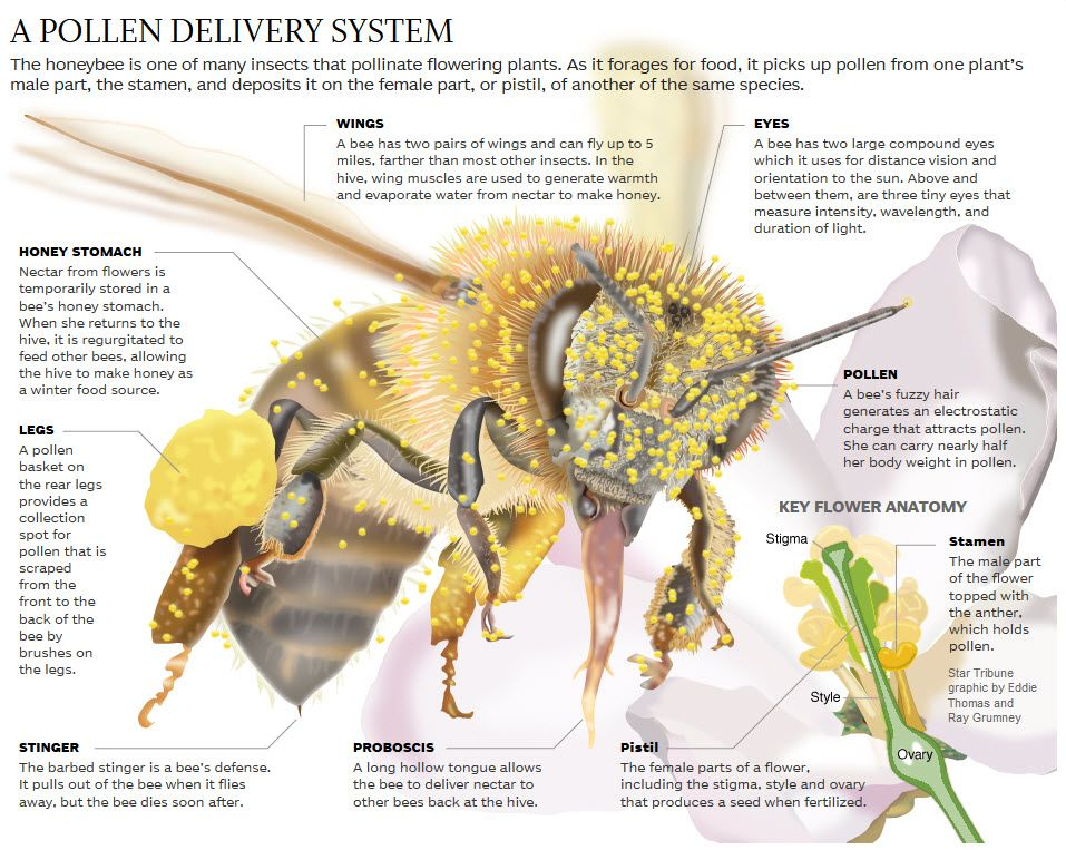 What Makes The Honey Bee A Super Pollinator Honeybee Beekeeping