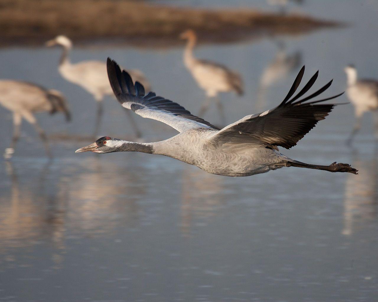 Common crane in flight at Hula valley - Серый журавль — Википедия