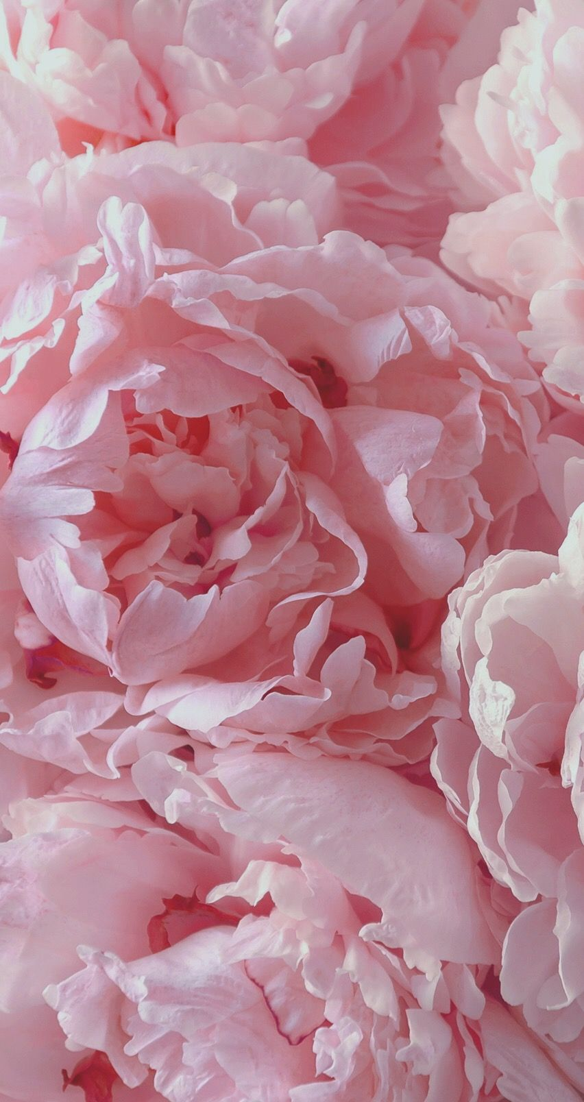 Beauty full soft pink peonies! colourinspiration