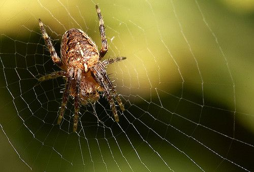 Juvenile Orb web spider Araneus diadematus.  Explore Lord V's photos on Flickr.