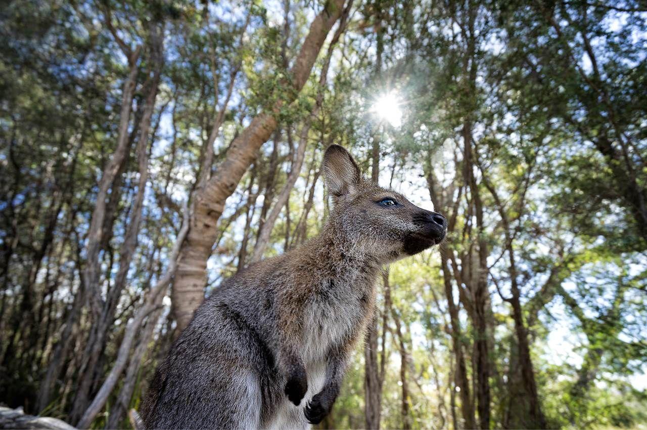 A wallaby in Freycinet National Park, Tasmania, Australia   Australia  holidays, Tasmania, National parks