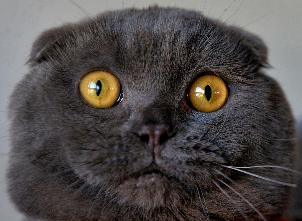 Cat Won T Stop Yowling In The Night Scottish Fold Cat Scottish Fold Cats
