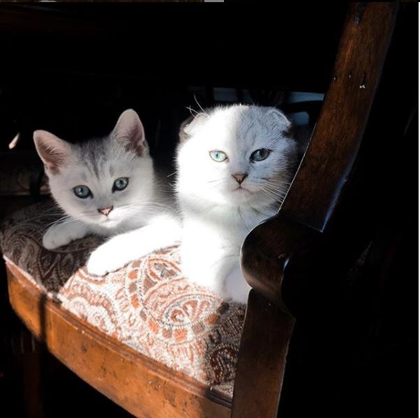 Cute Scottish Fold Kitten Birmingham Al Kalai S Kitties Www Scottis Folds Com Scottishfolds Scottishfoldkitten Scottishfoldcat