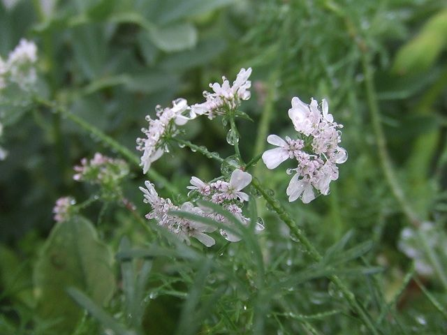 flor de coentros