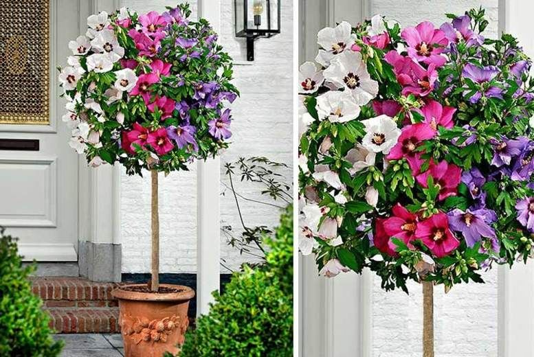 Tricolour Hibiscus Tree Shop Wowcher Garden Hibiscus Tree