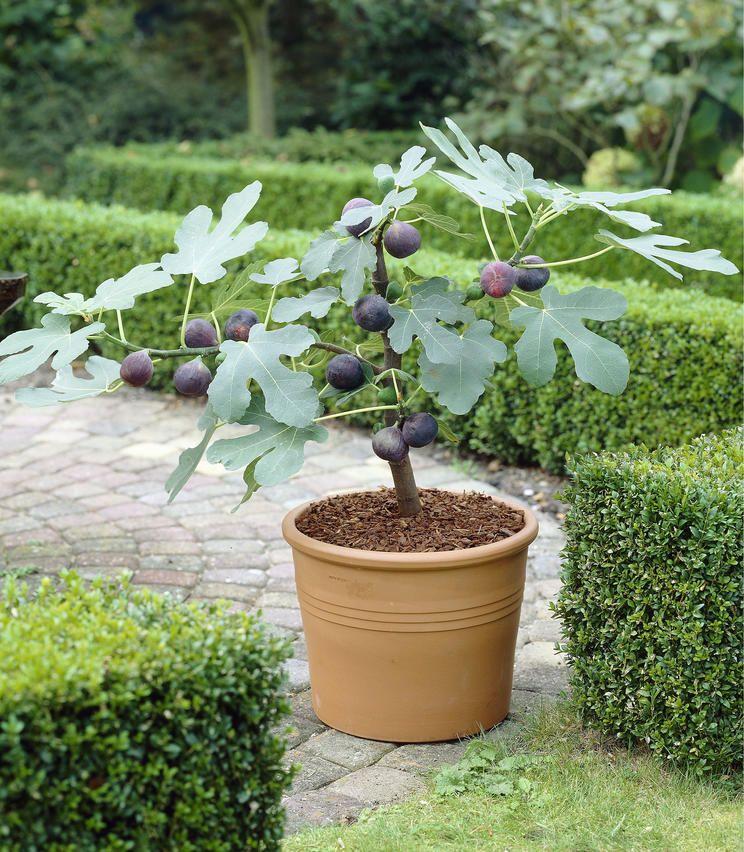 Feigenbaum Uberwintern Tipps Fur Topf Und Garten Pflanzen Kubelpflanzen Pflanzideen