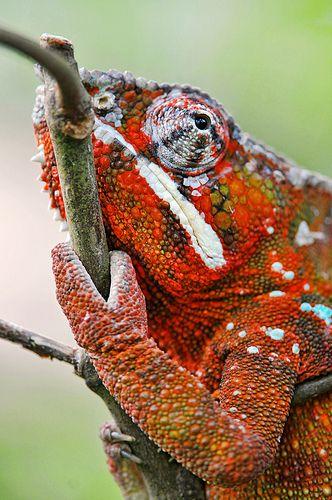 Pretty red chameleon