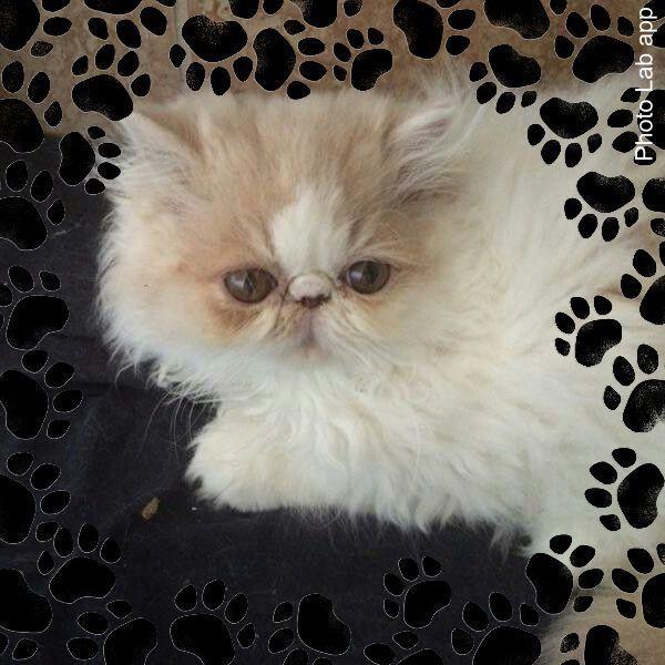 Adopt Nexus On Persian Cat Cats Dog Cat