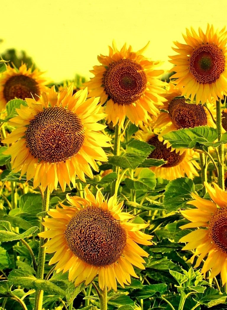 Pin By Debbie Pope Akers On Sunflowers Sunflowers And Daisies Sunflower Pictures Sunflower Fields